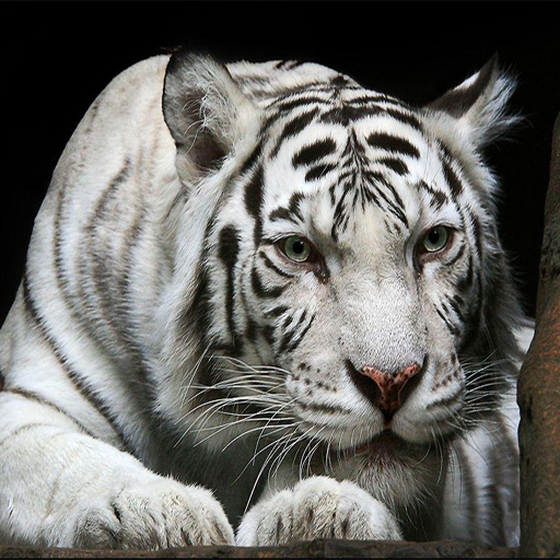 Animals Jigsaw Puzzle - Tiger