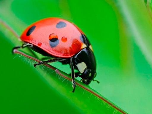 Play Ladybug Match3